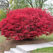 Burning Bush - 2-gal. Container