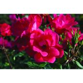 Rose Knock Out 2 gallons, rouge assorti