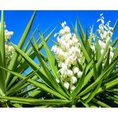 Yucca Filamentosa Colour Guard, contenant de 2 gallons