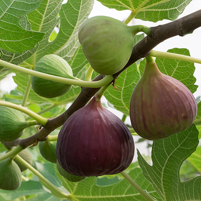 Fig Tree - 2-Gallon Container
