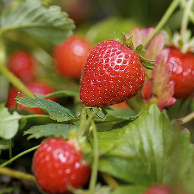 Assorted Strawberry - 1-Gallon