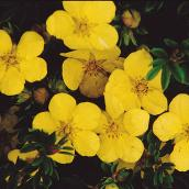 Assorted Potentilla - 2-Gallon Container