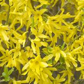 Forsythia - 2-Gallon Container