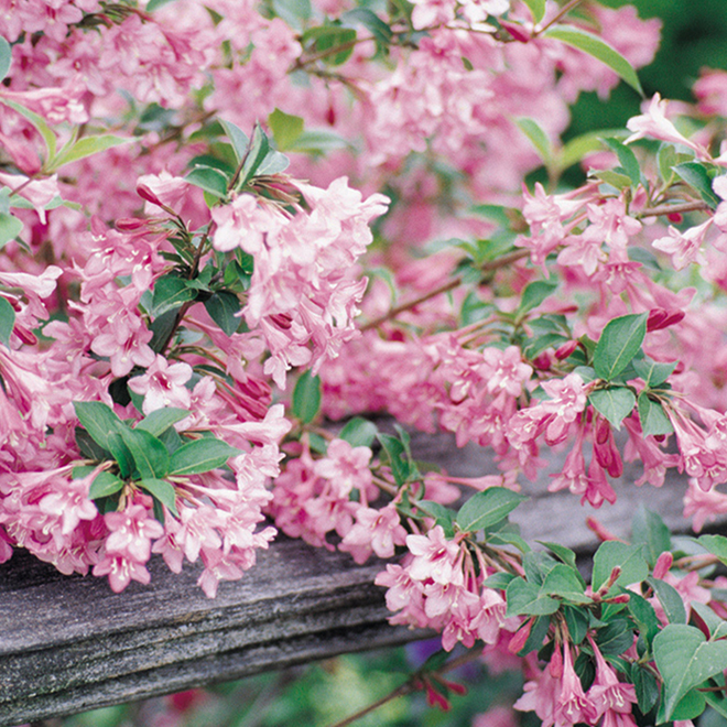 Assorted Weigela - 2-Gallon Container
