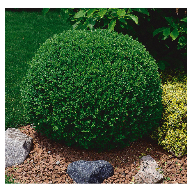 Arbuste Buis, pot de 1 gallon