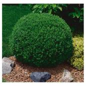 Boxwood Shrub - 1-Gallon Pot