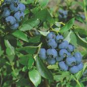 Blueberry Bush - 1-Gallon Container