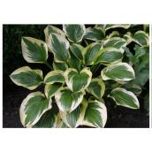 Hosta assorti, pot de 1 gallon