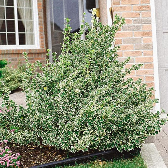 Assorted Euonymus - 1-Gallon Container