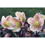Helleborus assortis 1 gallon
