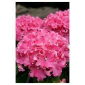 Hydrangée/Hortensia Spike, pot de 2 gallons