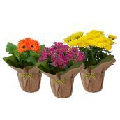Plante à fleurs, pot de 5 po, couleurs assorties