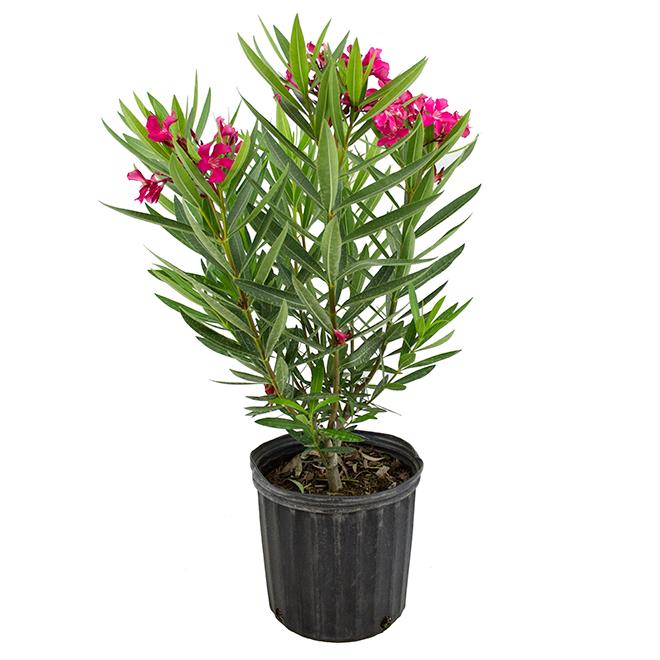 """Bayview Flowers - Bush Laurier - Oleander - 10'' x 24"""" x 24"""""""