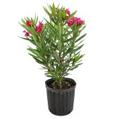 """Buisson Laurier, Bayview Flowers, oleander, 10'' x 24"""" x 24"""""""