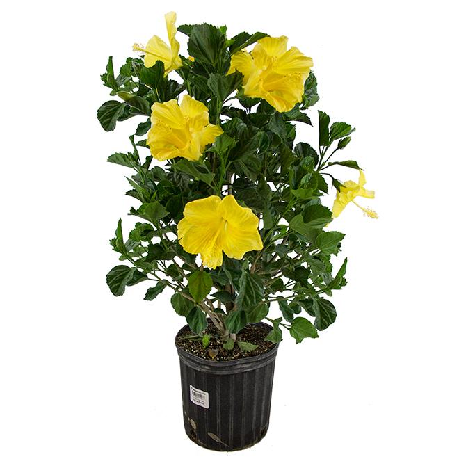 "Bayview Flowers - Hibiscus - Bush - 10'' x 24"" x 24"""
