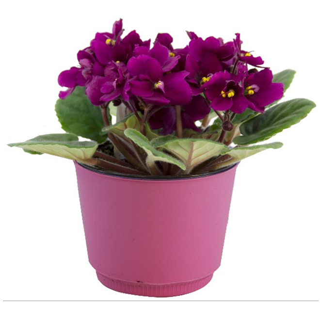 """Violette africaine, pot de 4"""""""
