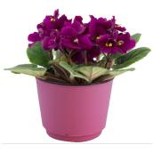 African Violet - 4-in Pot Assorted