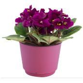 """African Violet - 4"""" Pot"""