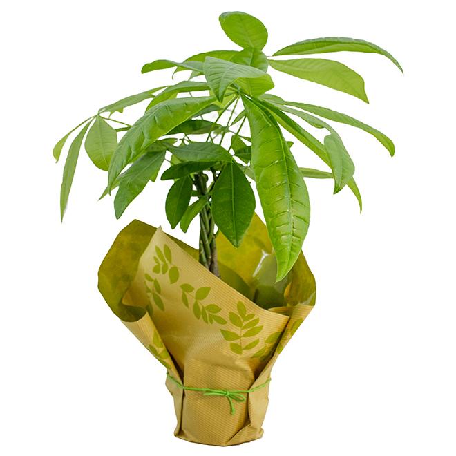 "Money Tree - 4.5"" Pot"