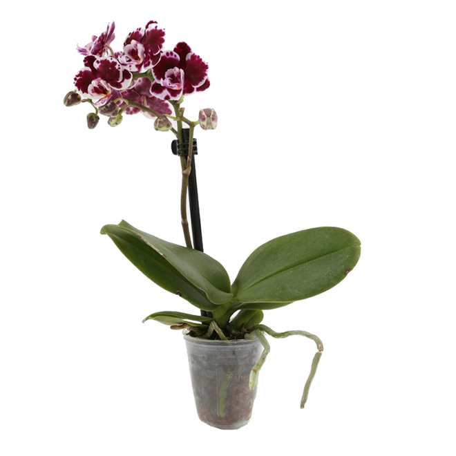 Miniature Phalaenopsis Orchids - Bayview Flowers - 10-in