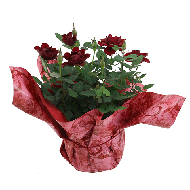 Bayview Flowers - Mini Roses - 6-in Pot