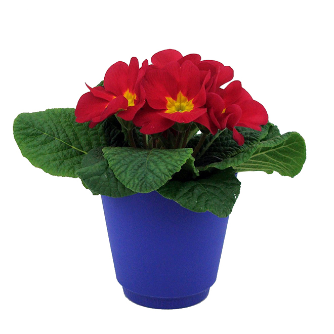 Bayview Flowers - Primula - 4''