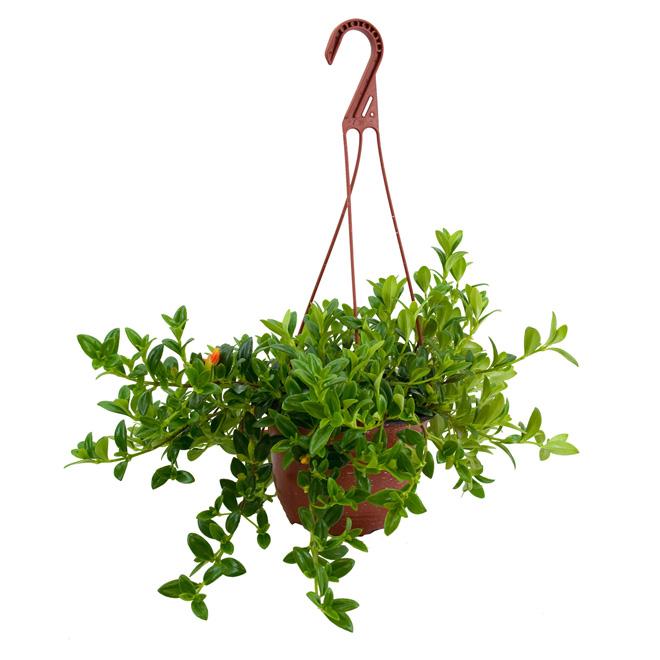 Plante tropicale dans un panier suspendu de 10 po