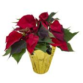 Poinsettia en pot de 4,5 po, couleurs assorties
