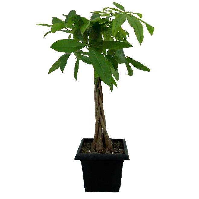 Money Tree - 8 In