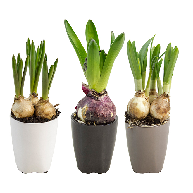 Assorted Spring Bulbs - Bayview Flowers - 3-in Euro Decorative Pot