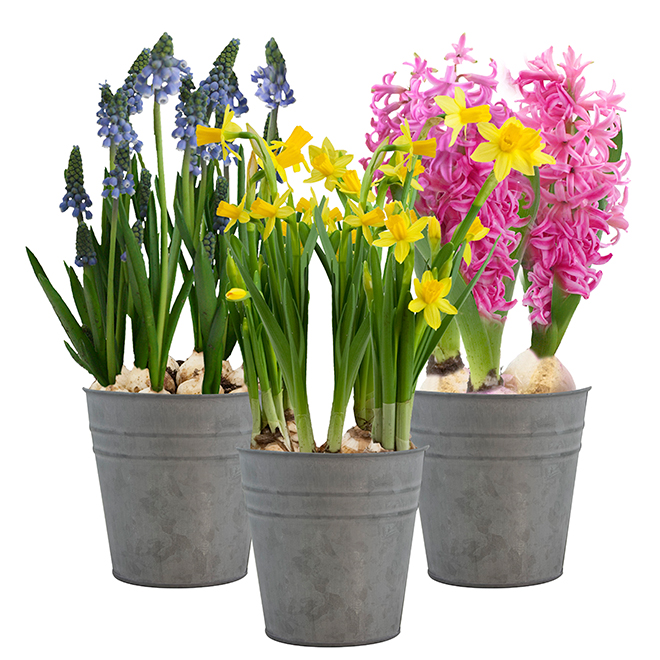 Bulbes de printemps assortis, pot de 5""