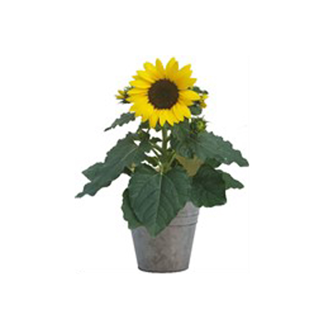 Tournesol, pot de culture de 6''