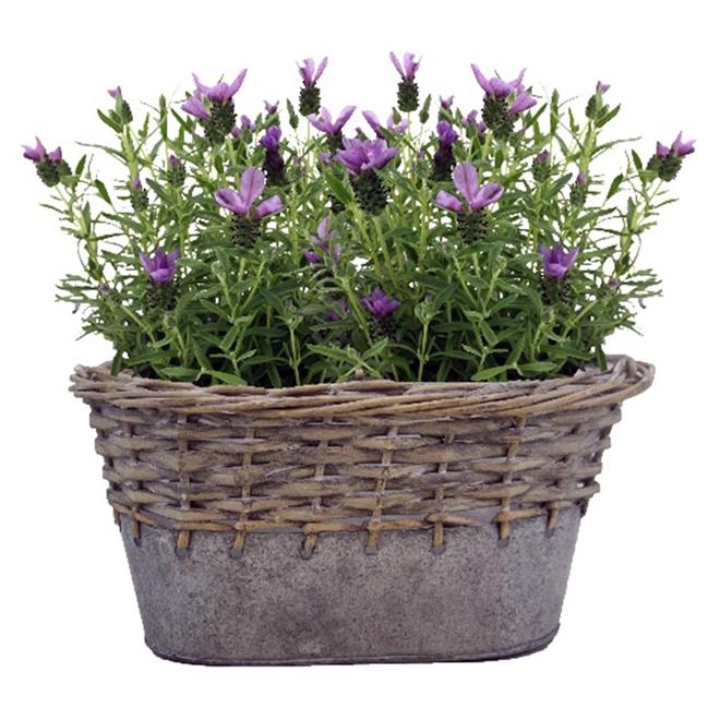 """Lavender Plant - 10.5"""" - Purple"""