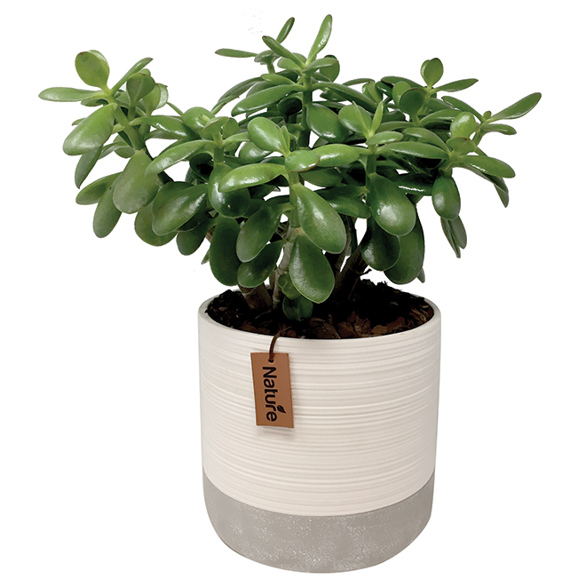 Crassula - Green