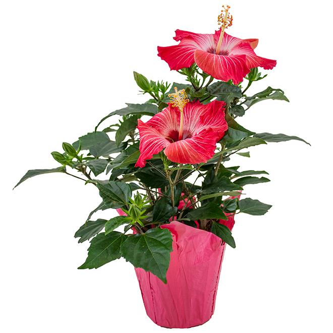 """Hibiscus en pot de 6"""""""