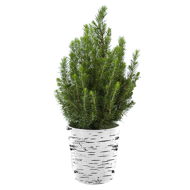 Cypress - Tin