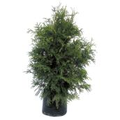 Hedge Cedar - 3 gal. - 70 to 90 cm