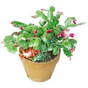 4-in Potted Christmas Cactus