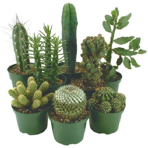 """Cactus - 1.5"""" Pot - Assortment"""