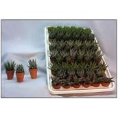 "Haworthia, pot de 1,5"", assortiment"