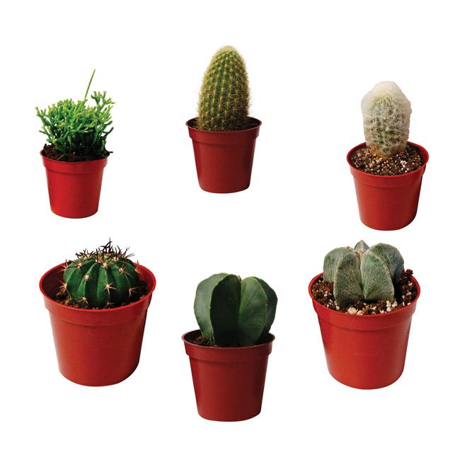 """Cactus - 2.5"""" Pot - Assortment"""