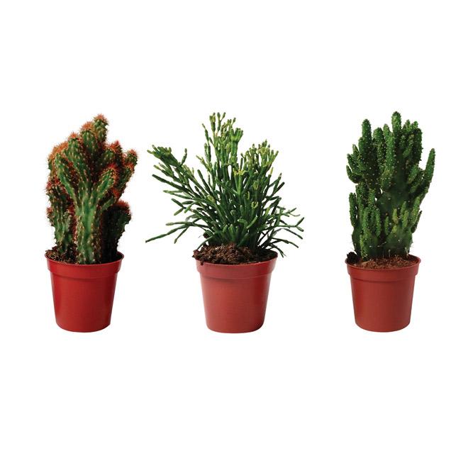 """Cactus - 4"""" Pot - Assortment"""