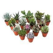 "Plante succulente, pot de 4"", assortie"