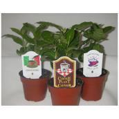 "Coffee Plant - 4"""