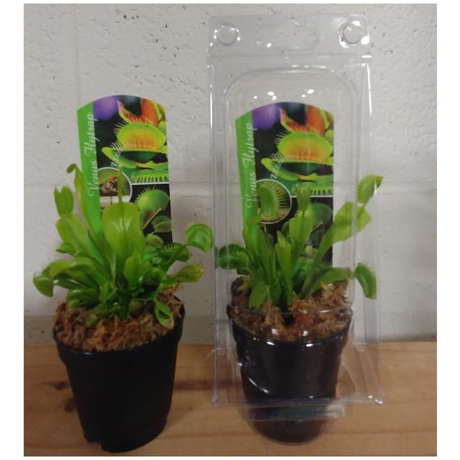 """Dionaea Venus Flytrap - 2-1/4"""""""