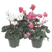 "Cyclamen, pot de 4,5"", couleurs assorties"