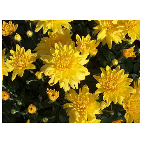 "Chrysanthème, pot de 4,5"", couleurs assorties"
