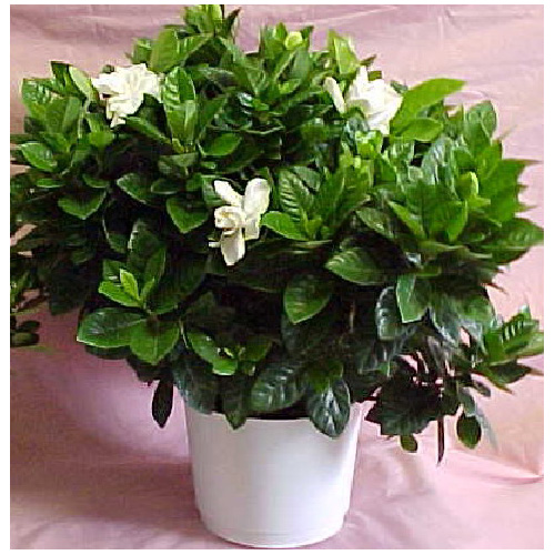 Gardenia buisson 466-06
