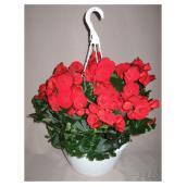 """Begonia Rieger, 4 1/2"""""""