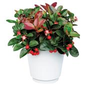 Gaultheria (Wintergreen) in a Decorative Pot - 10''